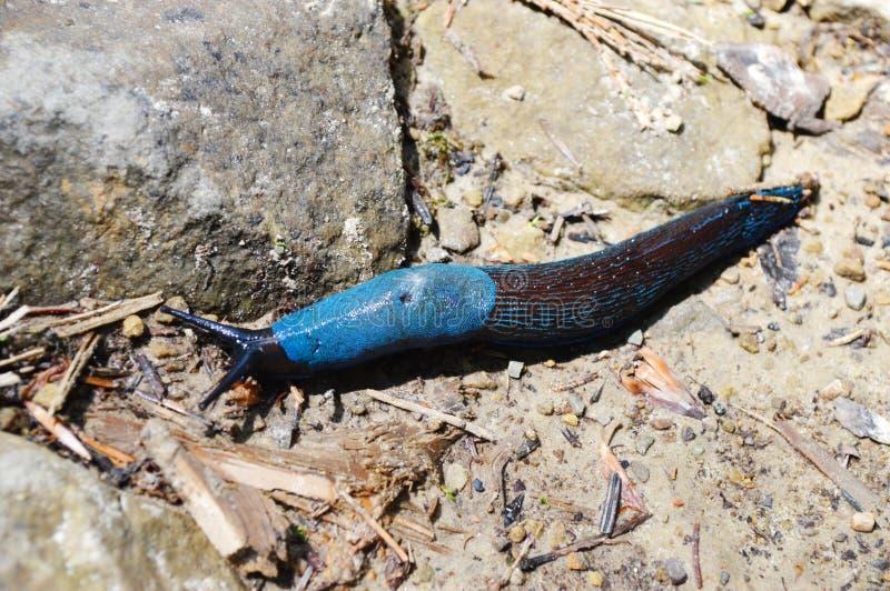 蓝色蜗牛 免版税图库摄影