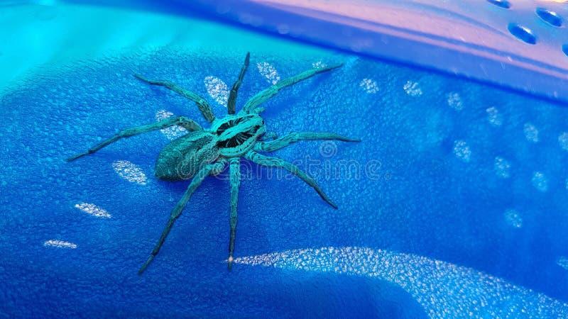 蓝色蜘蛛 免版税库存图片