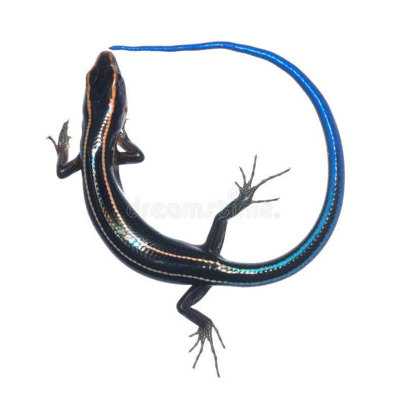 蓝色蜥蜴skink尾标 库存照片