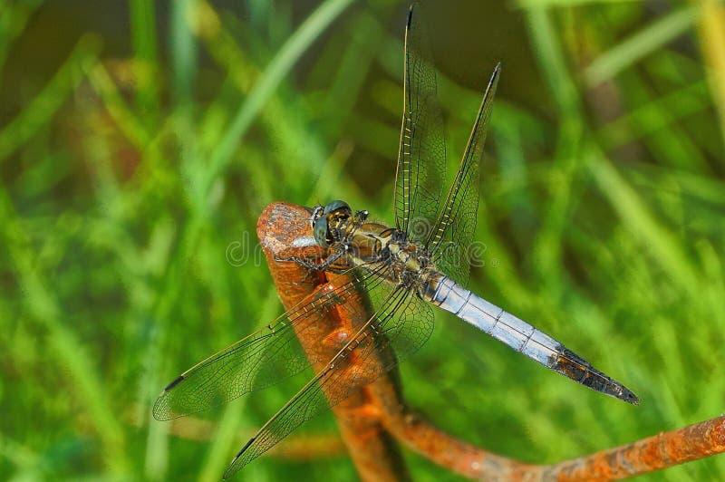 蓝色蜻蜓坐在绿草的一把生锈的标尺 免版税库存照片