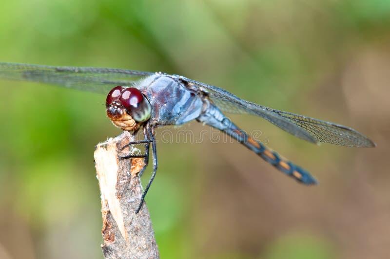 蓝色蜻蜓宏指令 库存照片