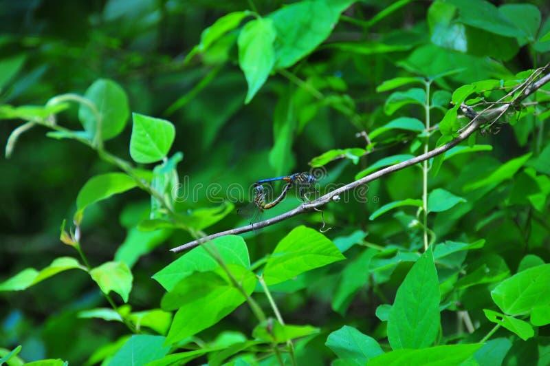 蓝色蜻蜓联接 免版税库存图片