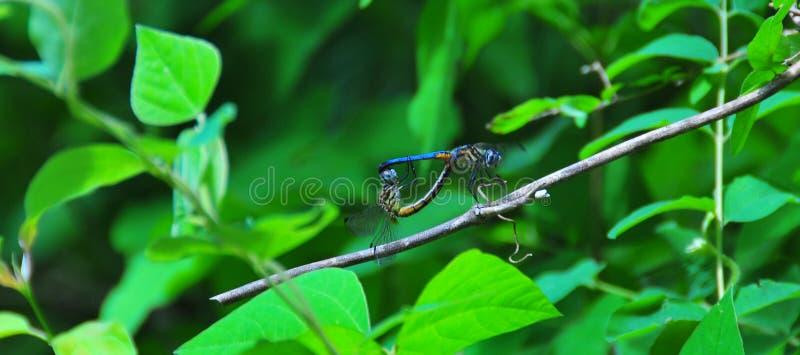 蓝色蜻蜓联接 库存照片