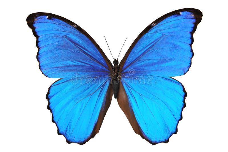 蓝色蝴蝶口气 免版税库存图片