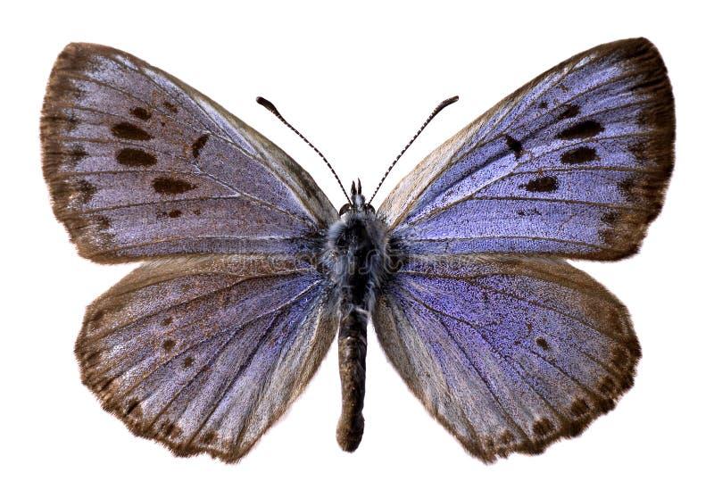 蓝色蝴蝶查出的大 库存照片