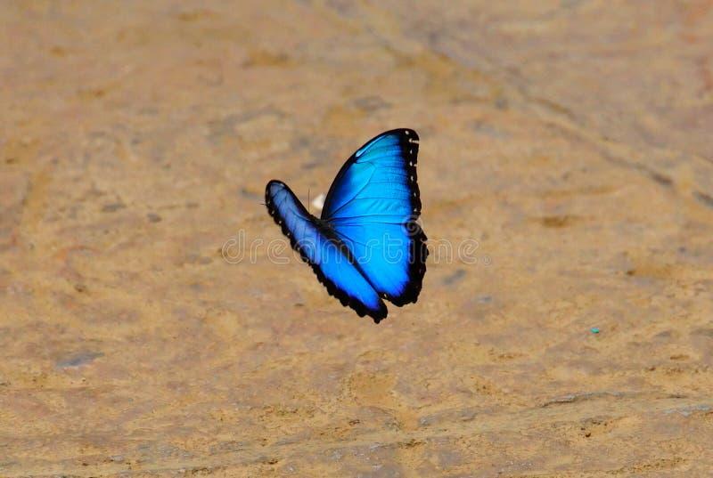 蓝色蝴蝶肋前缘morpho rica 免版税库存照片