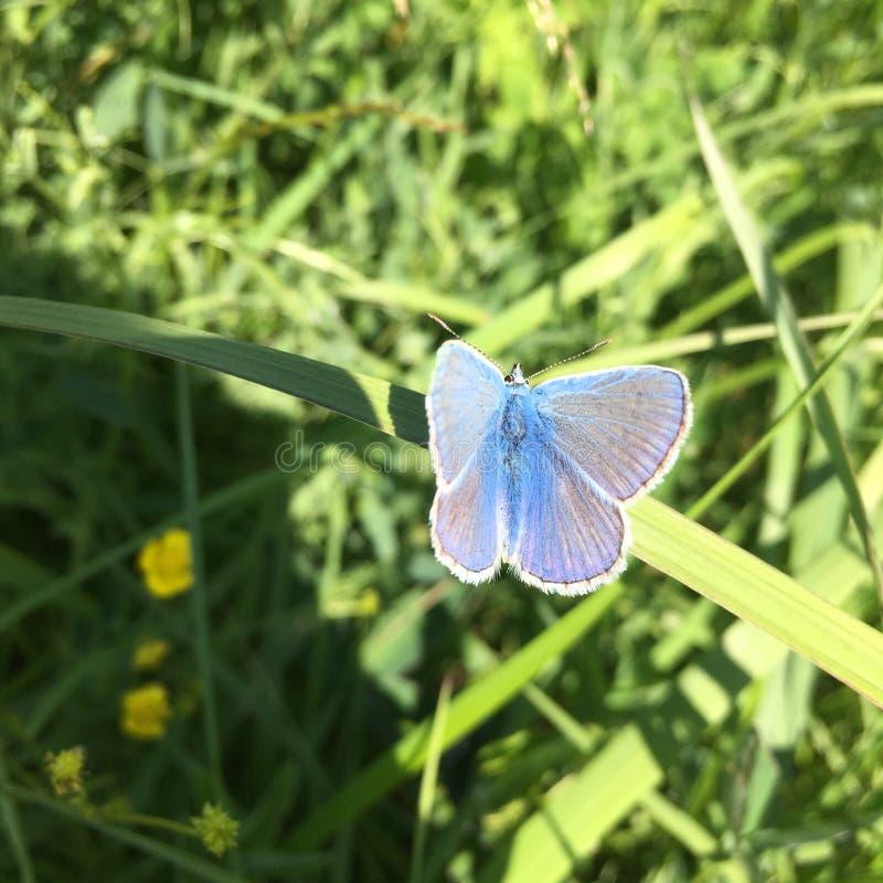 蓝色蝴蝶 图库摄影