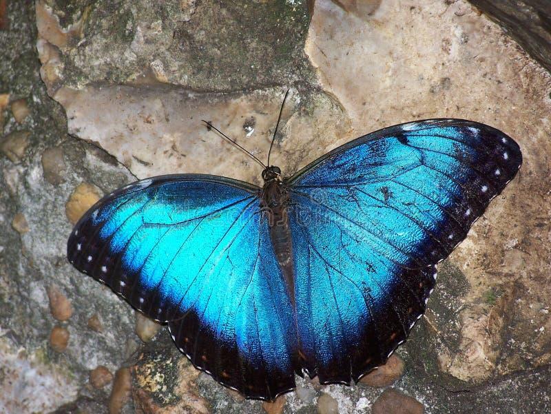 蓝色蝴蝶 免版税库存照片
