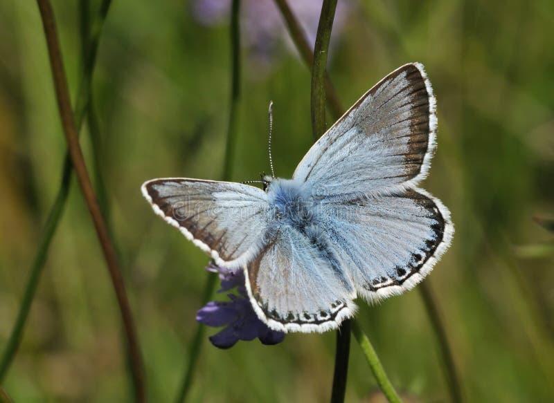 蓝色蝴蝶chalkhill 免版税库存图片