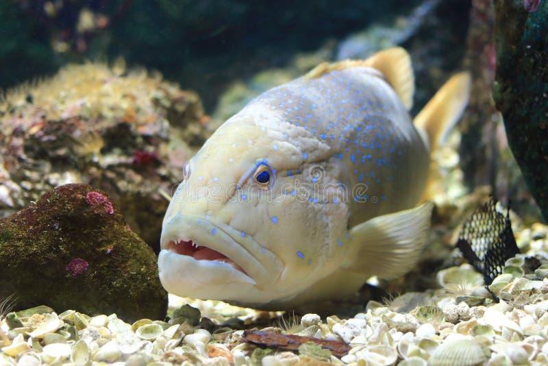 蓝色被察觉的石斑鱼 免版税库存照片