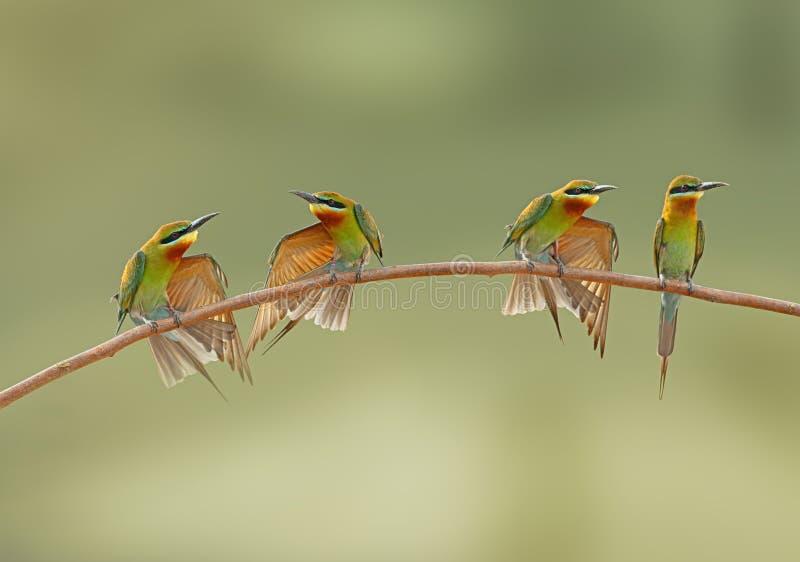 蓝色被盯梢的食蜂鸟家庭 库存图片
