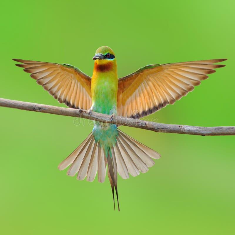 蓝色被盯梢的食蜂鸟鸟 库存图片