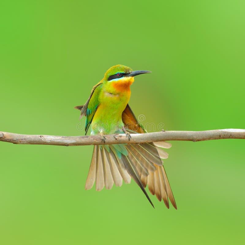 蓝色被盯梢的食蜂鸟鸟 免版税库存照片