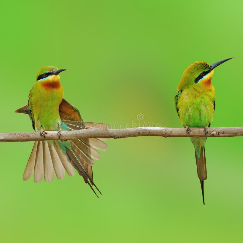 蓝色被盯梢的食蜂鸟鸟 免版税图库摄影