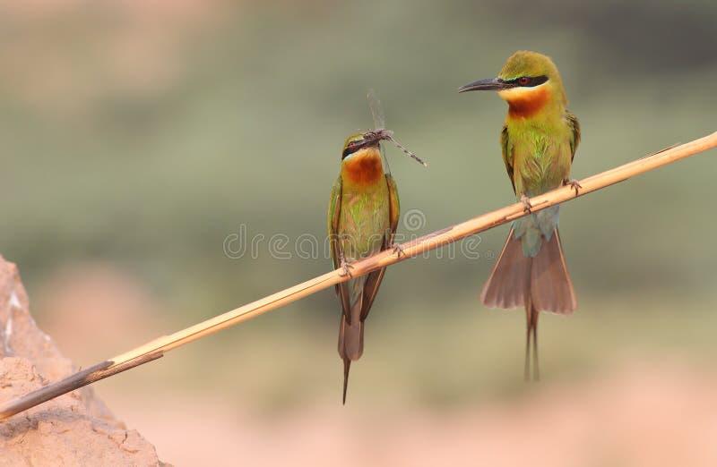 蓝色被盯梢的食蜂鸟 免版税库存照片