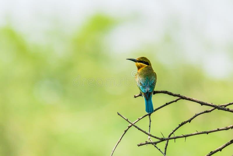 蓝色被盯梢的食蜂鸟 库存图片