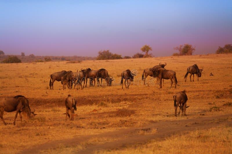 蓝色角马牧群在巨大迁移时 库存图片