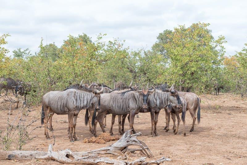 蓝色角马牧群,也叫有斑牛羚 免版税库存照片