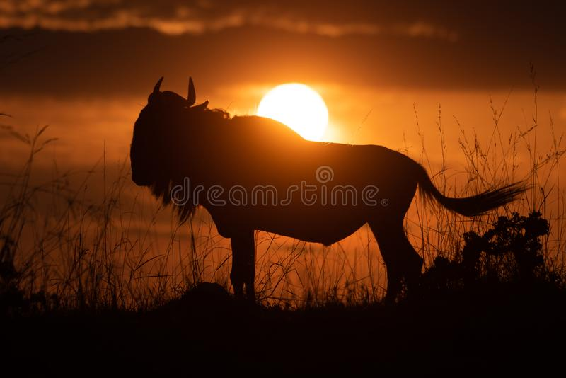 蓝色角马现出轮廓在甩尾巴的日落 免版税库存图片