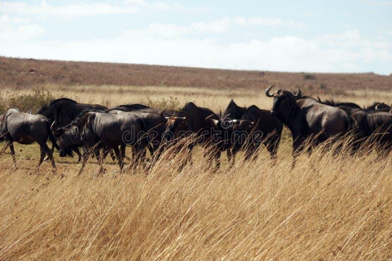 蓝色角马被昂首的牛羚牧群  免版税库存照片