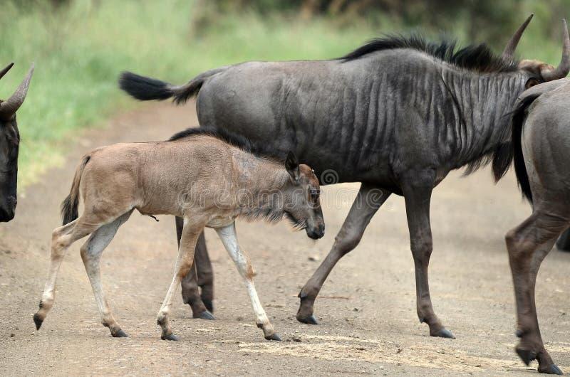 蓝色角马(角马属taurinus)小牛 免版税库存照片