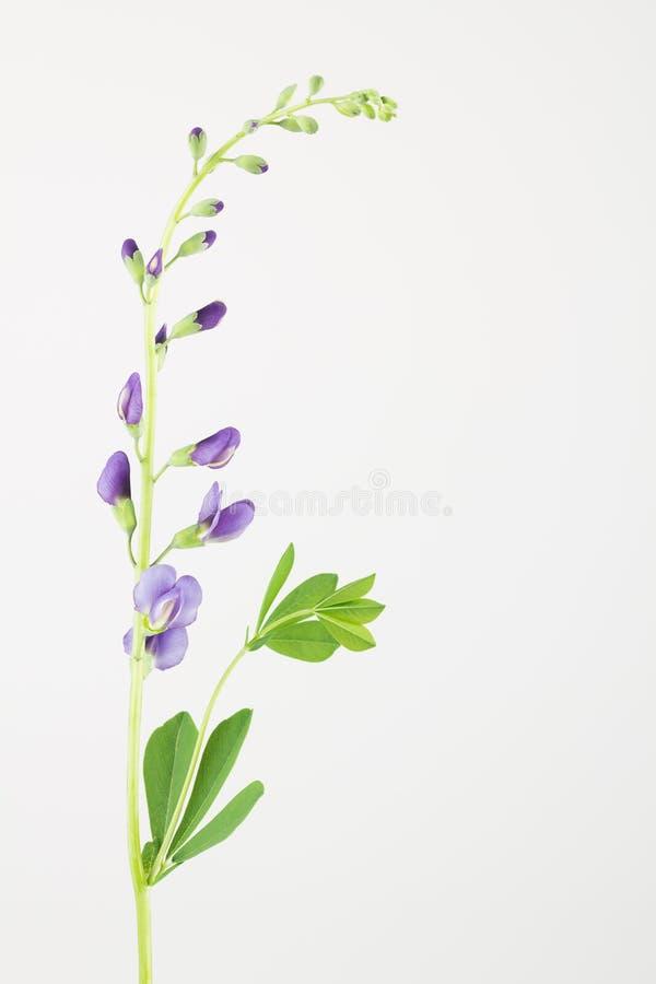蓝色象豌豆的野靛花、叶子和词根 免版税库存图片