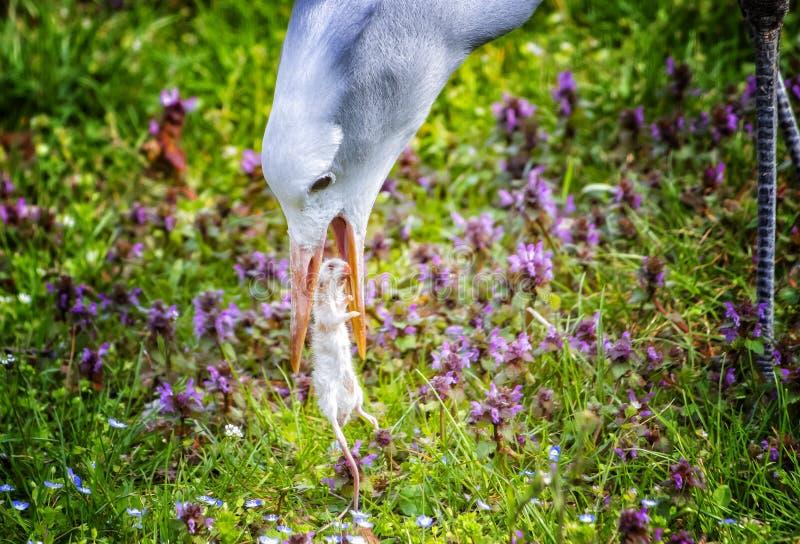 蓝色起重机照片的关闭  他吃着老鼠 背景是绿草 这是动物自然本底  免版税图库摄影