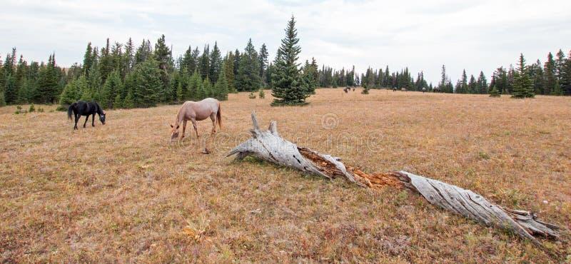 蓝色软羊皮和红色软羊皮的吃草在沉材旁边的野马母马在蒙大拿美国登录普莱尔山野马范围 图库摄影