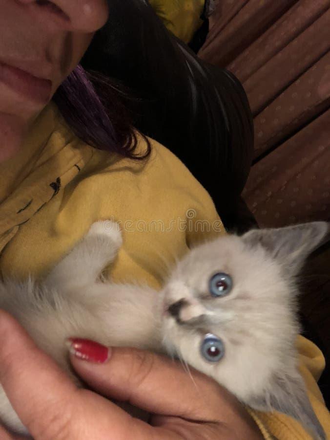 蓝色逗人喜爱的眼睛小猫白色 免版税库存照片