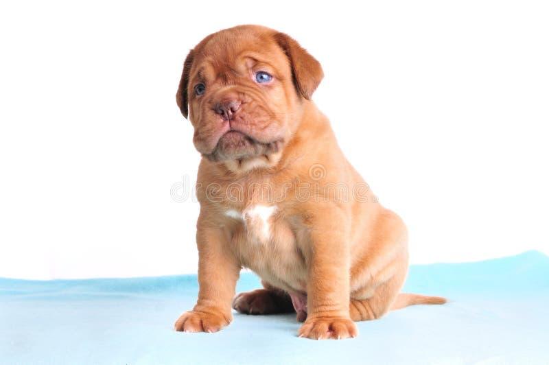 蓝色逗人喜爱的被注视的小狗 库存照片