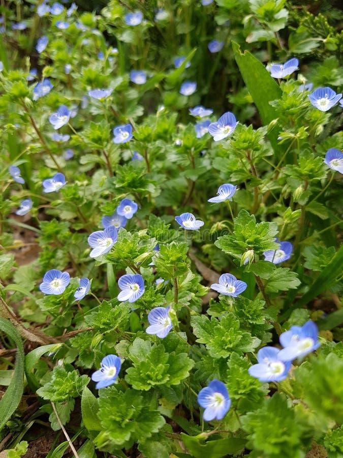 蓝色野花 库存照片