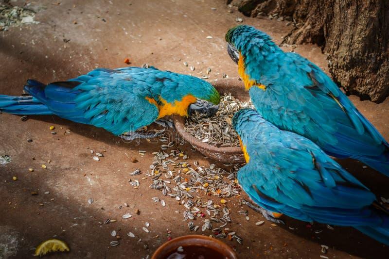 蓝色金刚鹦鹉在公园 库存图片