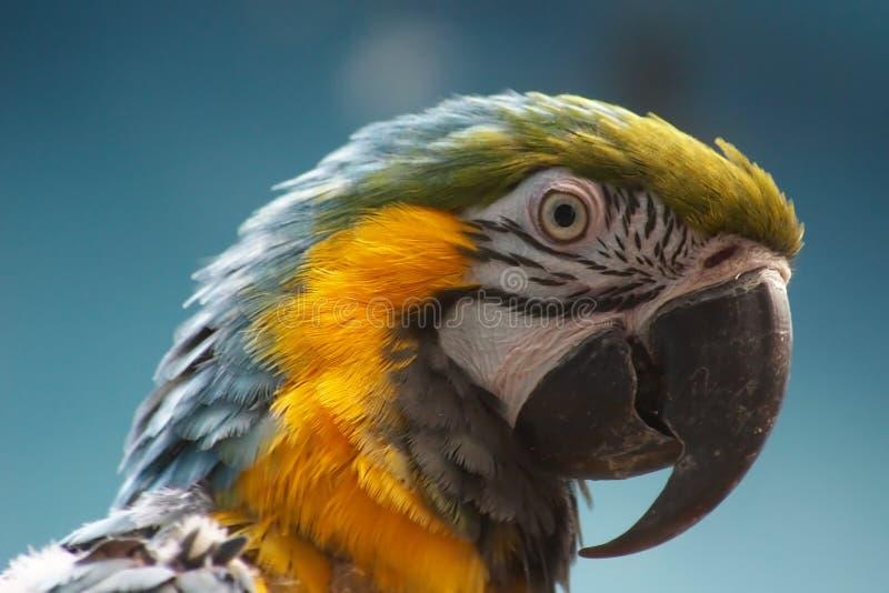 蓝色金刚鹦鹉黄色 免版税库存图片