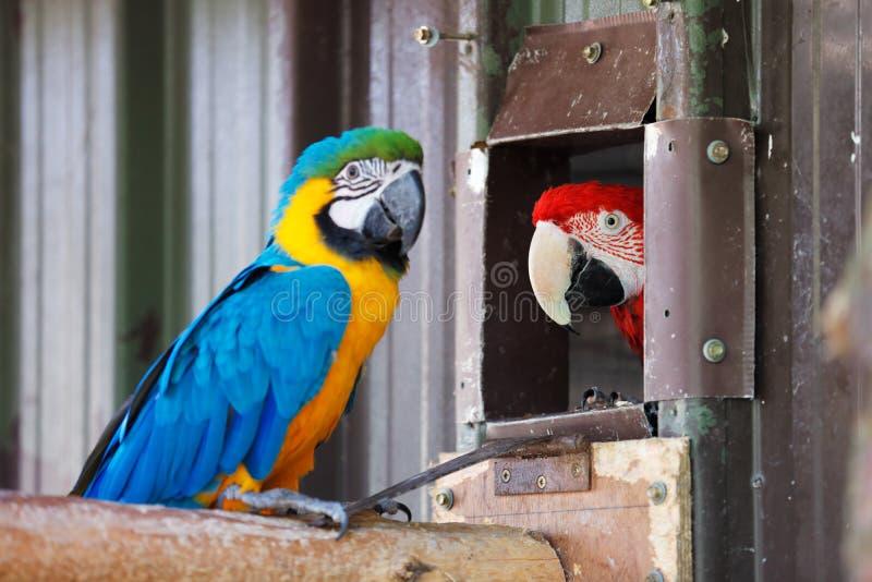 蓝色金金刚鹦鹉鹦鹉 免版税库存照片