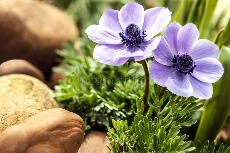 蓝色银莲花属在春天庭院 库存图片