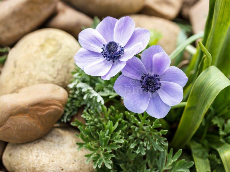 蓝色银莲花属在春天庭院 图库摄影