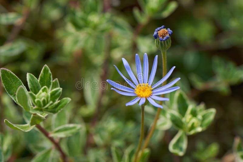 蓝色雏菊 免版税图库摄影