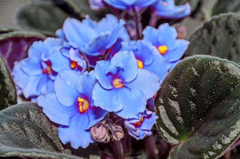 蓝色非洲堇开花,非洲紫罗兰紧密,绿色叶子 免版税库存图片