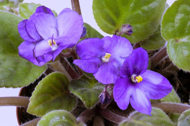 蓝色非洲紫罗兰花和绿色叶子特写镜头  库存照片