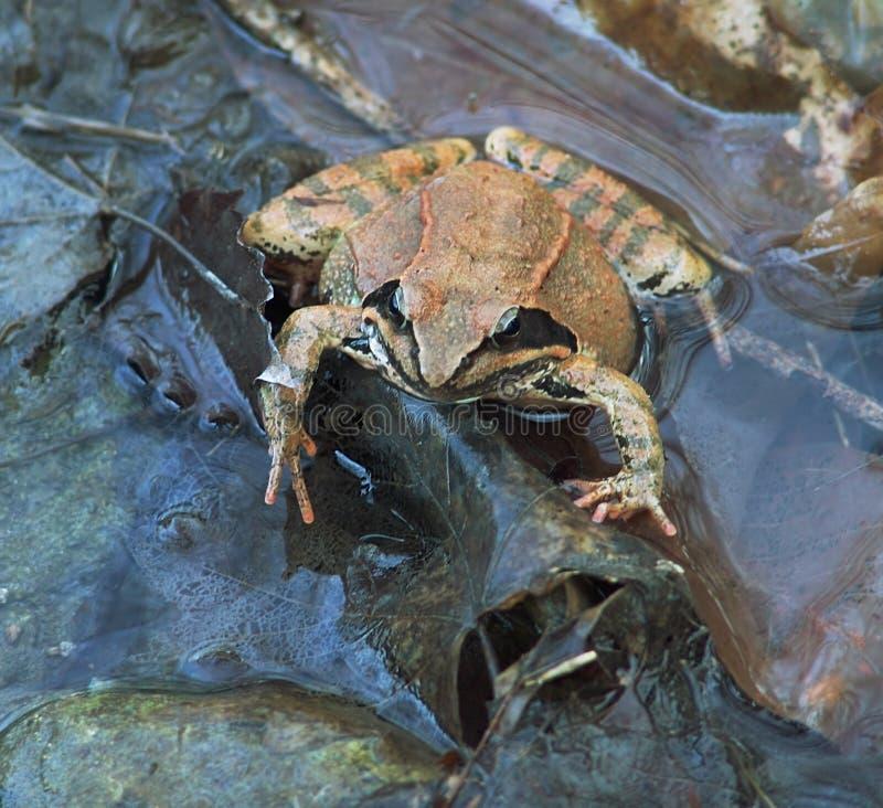 蓝色颜色冷静青蛙水 免版税库存图片