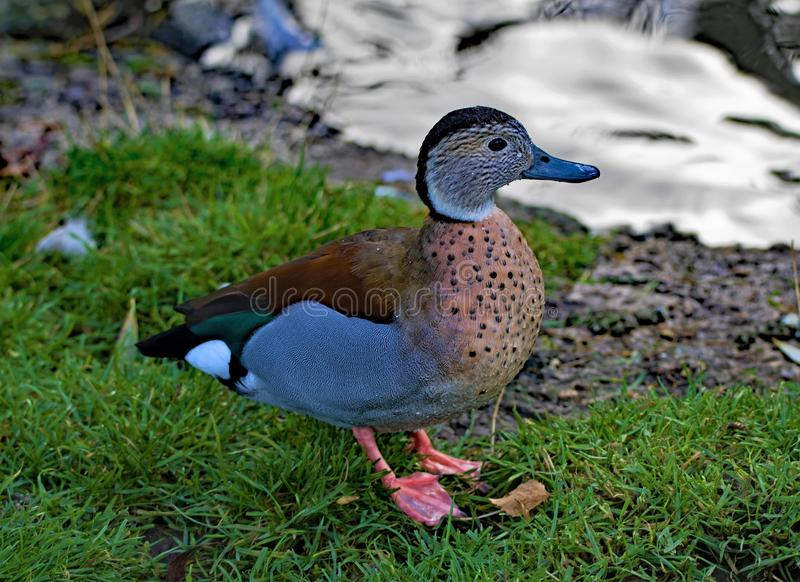 蓝色飞过的小野鸭,在西北沼泽地 免版税库存照片