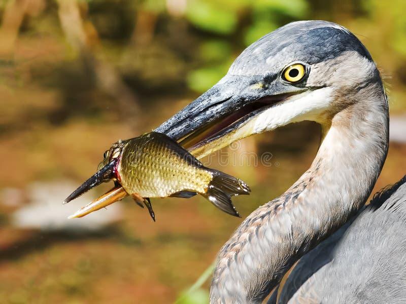 蓝色鱼极大的苍鹭 库存照片