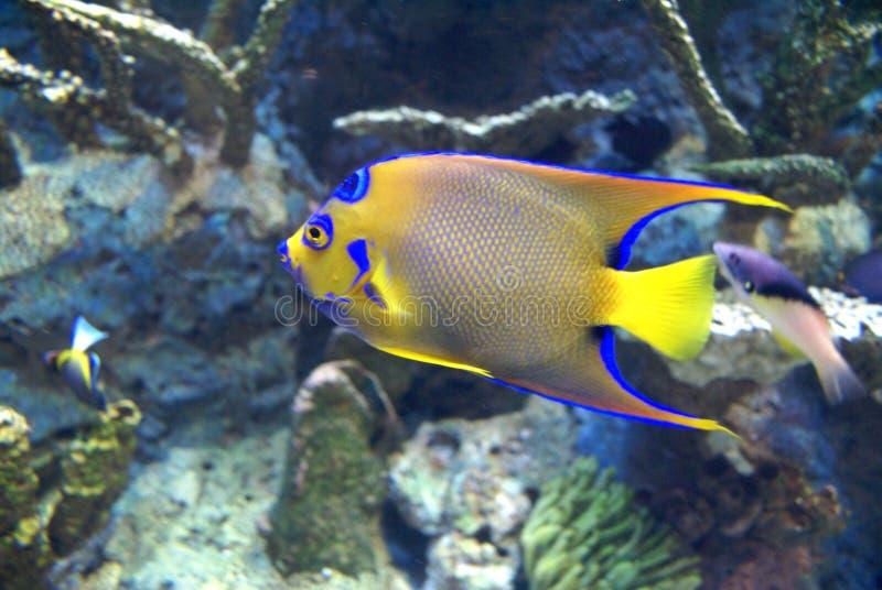 蓝色鱼黄色 库存图片