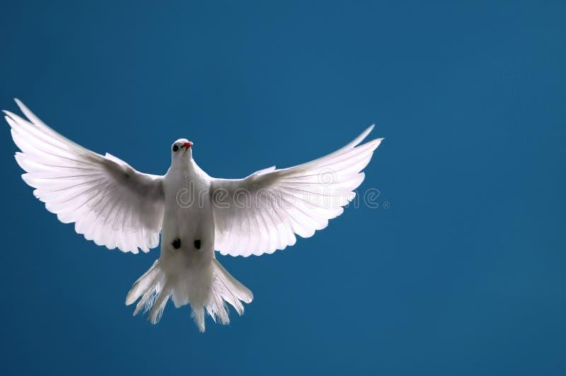蓝色鸠飞行天空白色 免版税库存图片