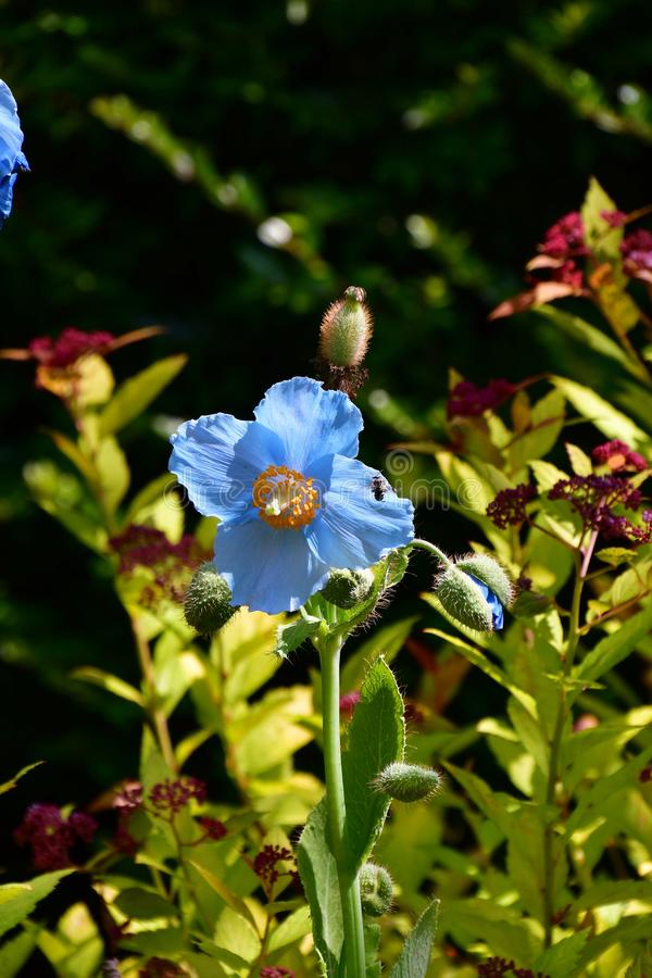 蓝色鸦片在庭院里 免版税图库摄影