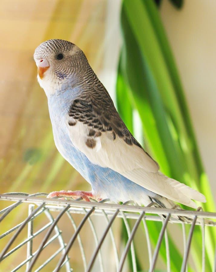 蓝色鹦鹉 库存图片
