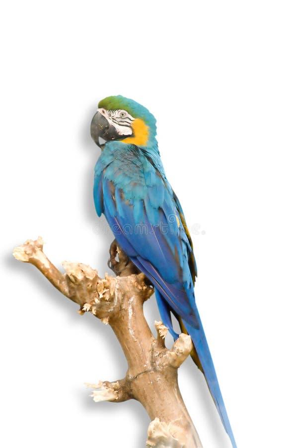 蓝色鹦鹉 免版税图库摄影