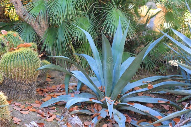 蓝色龙舌兰植物 免版税图库摄影