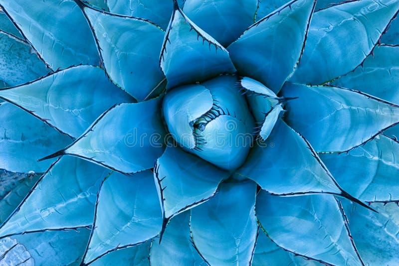 蓝色龙舌兰植物 免版税库存图片