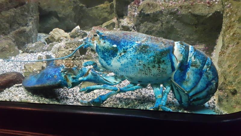 蓝色龙虾 免版税库存照片